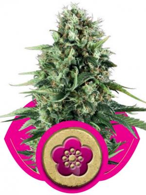 Power Flower (Royal Queen Seeds), 3 feminisierte Samen
