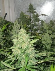 Prozack (Medical Seeds) feminisierte Samen