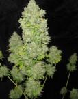 Pure AK (Female Seeds) 4 feminisierte Samen