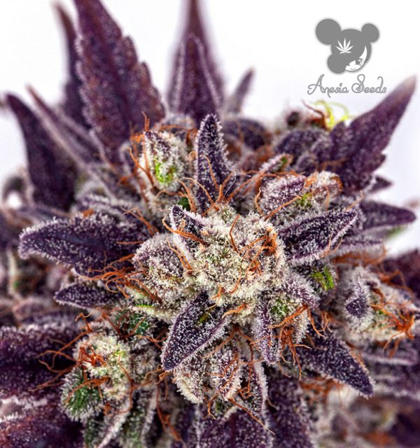 Purple Domina Auto (Anesia Seeds), 3 automatic Samen