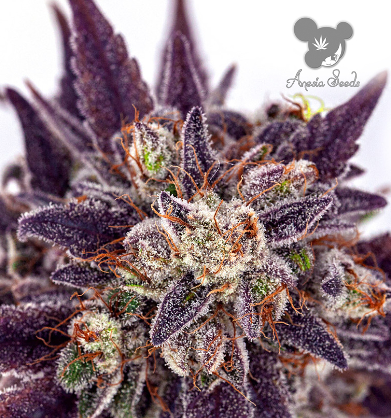 Purple Domina Auto (Anesia Seeds), 3 automatic Samen