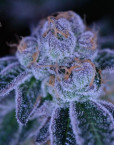 Purple Domina (Anesia Seeds), 3 feminisierte Samen