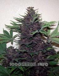 Buddha Purple Kush (Buddha Seeds), feminisierte automatic Samen