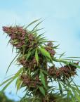 Purple Paro Valley (Mandala Seeds), 6 feminisierte Samen