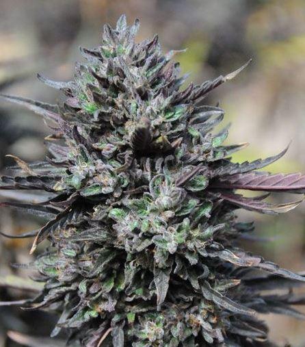 Purple Trainwreck (Humboldt Seeds), 3 feminisierte Samen