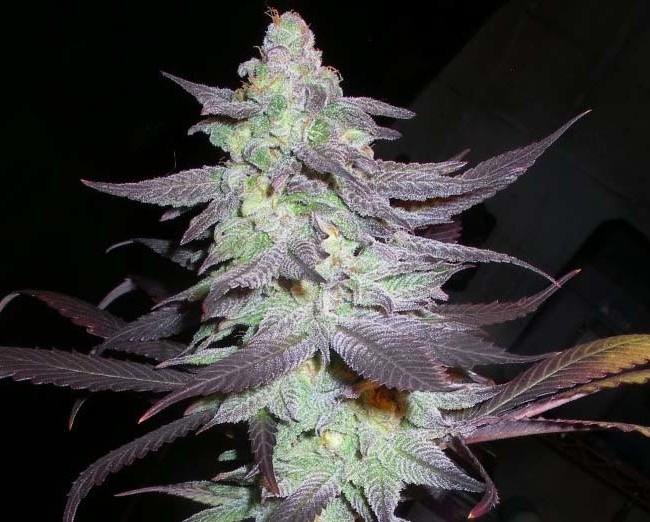 Purple Wreck (Reserva Privada), 6 feminisierte Samen