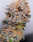 Querkle (TGA Subcool), 5 oder 10 regular Seeds