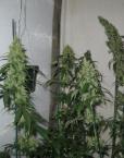 Red Diesel (Barney's Farm), 5 feminisierte Samen
