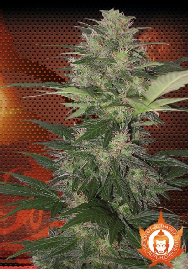 Red Dwarf - Autoflowering (Buddha Seeds), feminisierte Samen