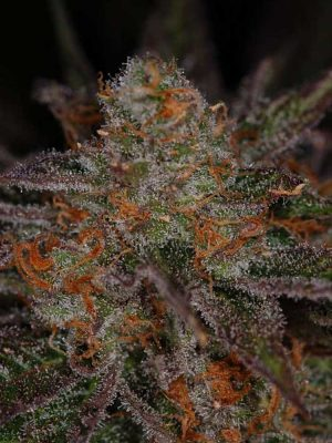 Ripped Bubba (TGA Subcool), 5 oder 10 regular Seeds