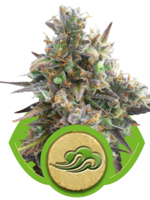 Royal Bluematic (Royal Queen Seeds), 5 autoflowering Samen