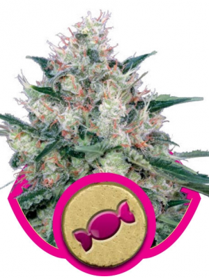 Royal Caramel (Royal Queen Seeds), 5 feminisierte Samen