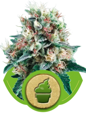 Royal Creamatic (Royal Queen Seeds), 5 autoflowering Samen