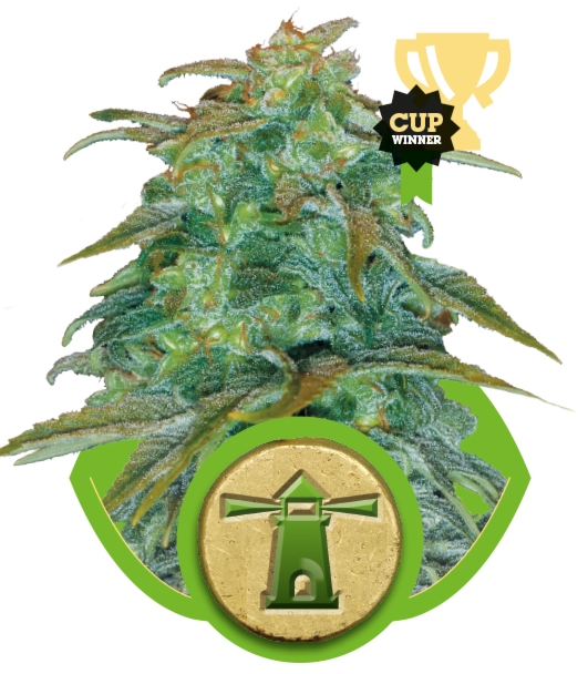 Royal Haze Automatic (Royal Queen Seeds), 3 autoflowering Samen