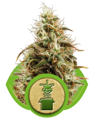Royal Jack Automatic (Royal Queen Seeds), 5 autoflowering Samen