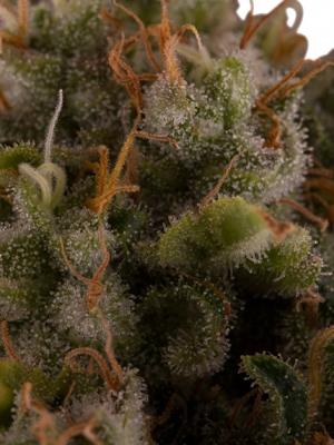Royal Moby (Royal Queen Seeds), 3 feminisierte Samen