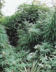 S.A.G.E. (T.H. Seeds), 5 oder 10 regular Seeds
