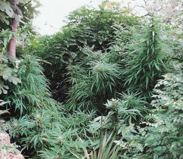 S.A.G.E. (T.H. Seeds), 5 oder 10 regular Seeds
