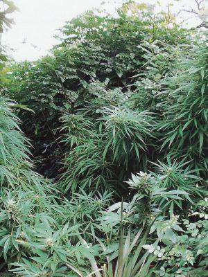 S.A.G.E. (T.H. Seeds), 5 oder 10 feminisierte Samen