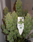 StarRyder (Dutch Passion & Joint Doctor), 3 autofeminisierte Samen