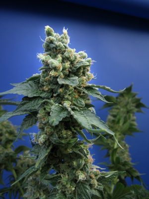 Sage 'n' Sour (T.H. Seeds), 5 oder 10 regular Seeds