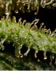 Santa Sativa (Dinafem), feminisierte Samen