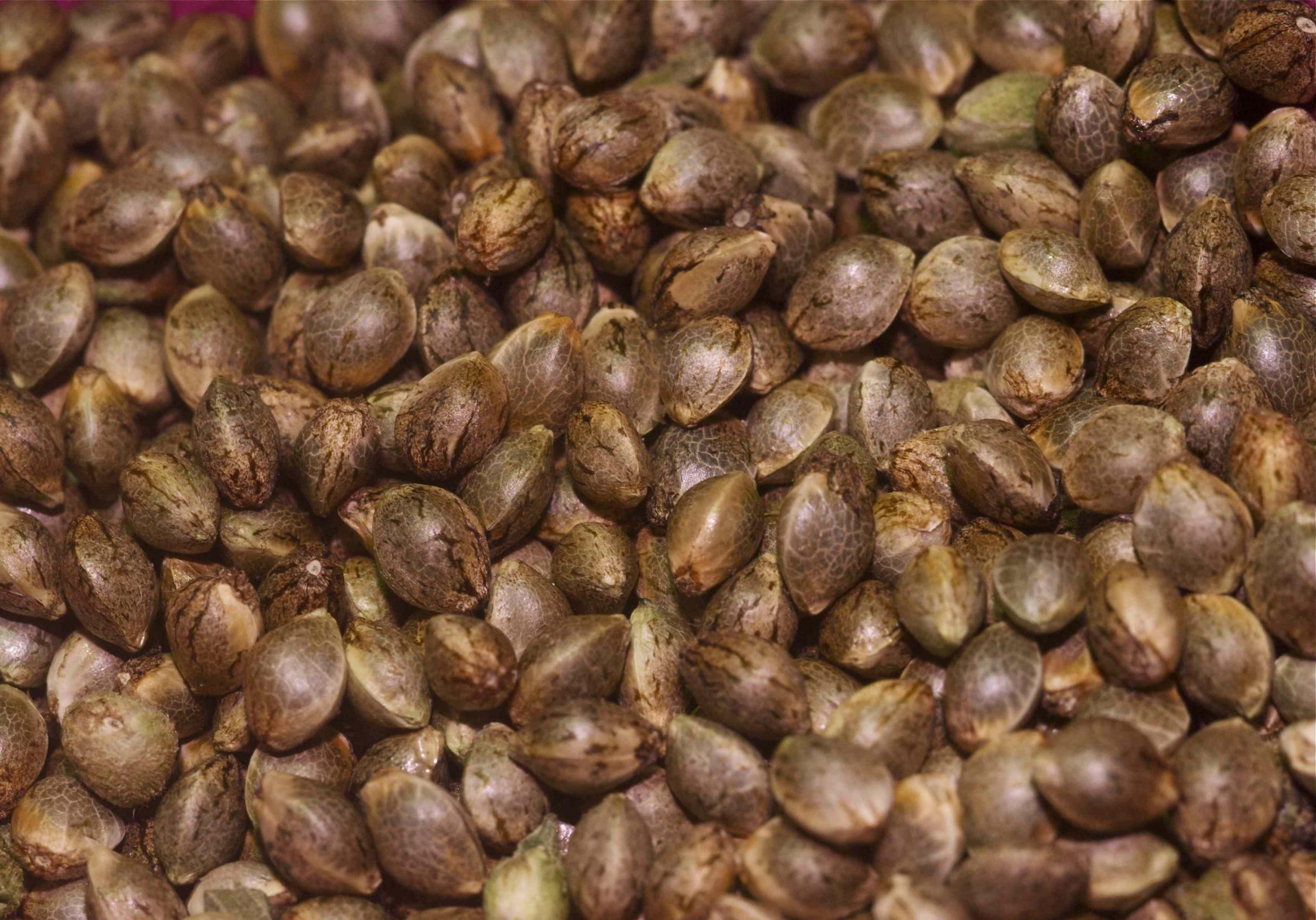 Seedshop 1000Seeds, feminisierte Cannabis-Samen kaufen, automatic Seeds, Bulk Seeds