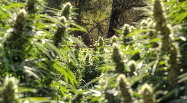 Seedshop-Cannabis-Samen