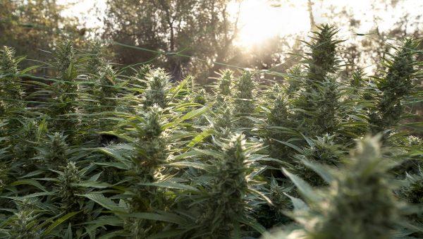 Seedshop-Growshop-Cannabis