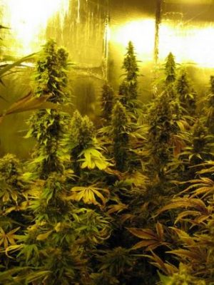 Session (Reggae Seeds), 7 regular Seeds, CBD-Strain