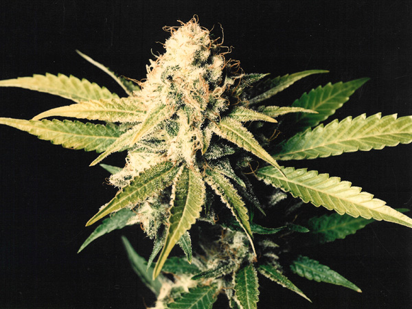Shark Shock (Mr. Nice) 15 regular Seeds