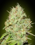 Shark Widow (Advanced Seeds), feminisierte Samen