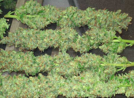 Sharksbreath (DNA Genetics), 3 feminisierte Samen