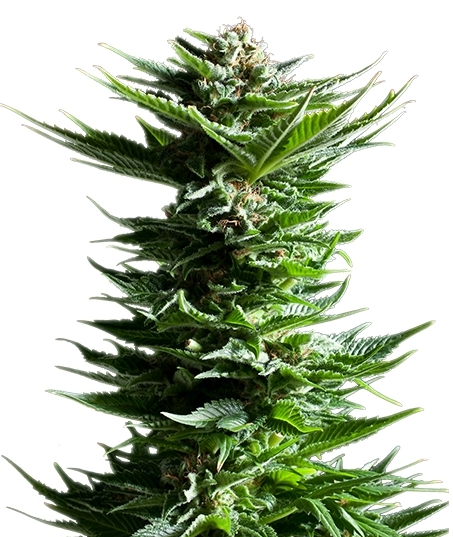Shining Silver Haze (Royal Queen Seeds), 3 feminisierte Samen