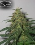Skunk #1 (Dutch Passion) 10 regular Seeds
