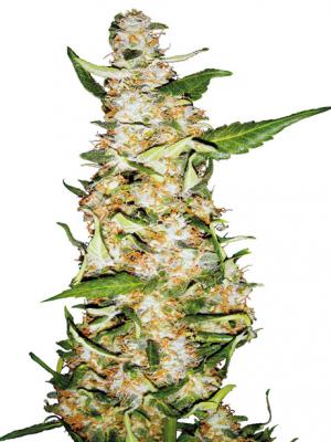Skunk #1 Automatic (Sensi Seeds), 5 autoflowering Samen