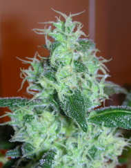 Skunk #11 (Dutch Passion), 3 feminisierte Samen