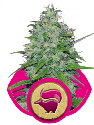 Skunk XL (Royal Queen Seeds), 5 feminisierte Samen