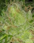 Sour Cream (DNA Genetics) 6 feminisierte Samen