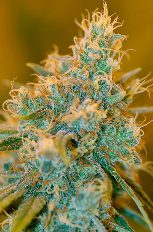 Sour Cream (DNA Genetics) 6 feminisierte Samen