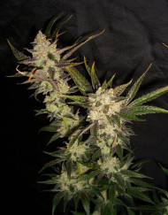 Sour Pink Grapefruit (Hortilab), 10 regular Seeds