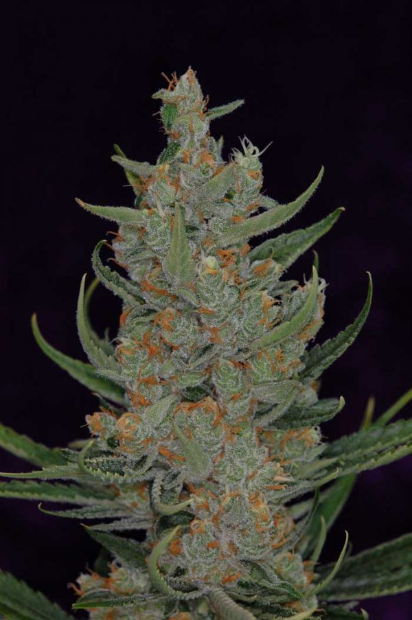 Space Bomb (TGA Subcool), 5 oder 10 regular Seeds