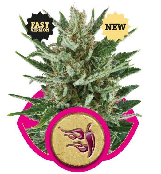 Speedy Chile - Fast Version (Royal Queen Seeds), 3 feminisierte Samen