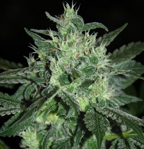 Spicy White Devil (Samsara Seeds), feminisierte Samen