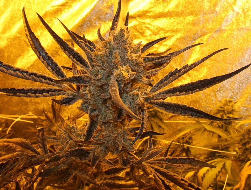 StarBud (Hortilab), 5 oder 10 feminisierte Samen