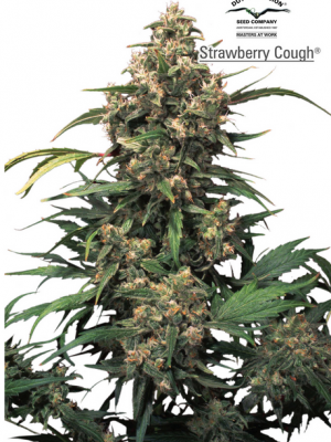 Strawberry Cough (Dutch Passion), 3 feminisierte Samen