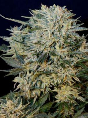 Sugar Gom (Grass-o-Matic), automatic Samen
