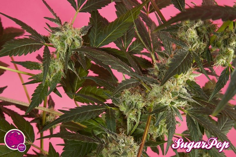 SugarPop (Philosopher Seeds) feminisierte Samen