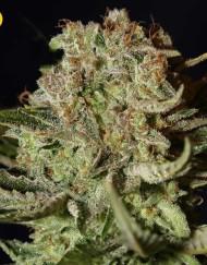 Super Bud (Green House Seed), 3 feminisierte Samen