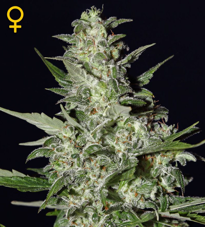 Super Critical Auto (Green House Seed), autoflowering Samen